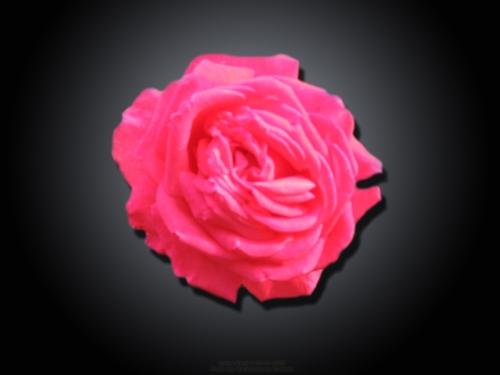fallen-rose-2-by-aatos-beck-c2a9-27-11-2008-photo-by-raili-unelma-kokkola