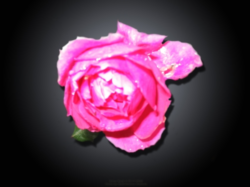 fallen-rose-3-by-aatos-beck-c2a9-27-11-2008-photo-by-raili-unelma-kokkola