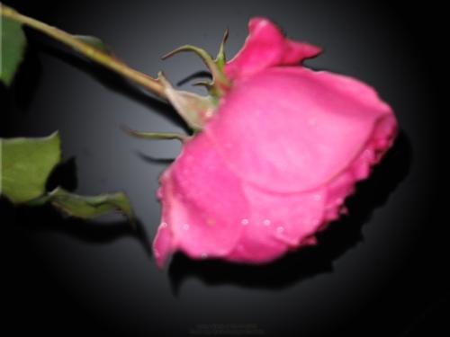 fallen-rose-by-aatos-beck-c2a9-26-11-2008-photo-by-raili-unelma-kokkola