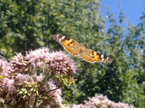 Butterfly Migration 4 picture 2 by Aatos Beck © 22-7-2009