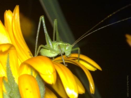 grassflowerhopper 2 by Aatos Beck© 13-7-2009