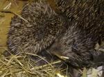 Hedgehogs 1 week 3 by Aatos Beck © 15-08-2009