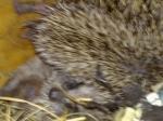 Hedgehogs 3 week 3 by Aatos Beck © 15-08-2009